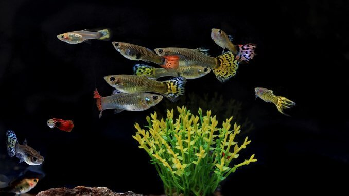 The Complete Guppy Care Guide: Breeding, Tank Requirements