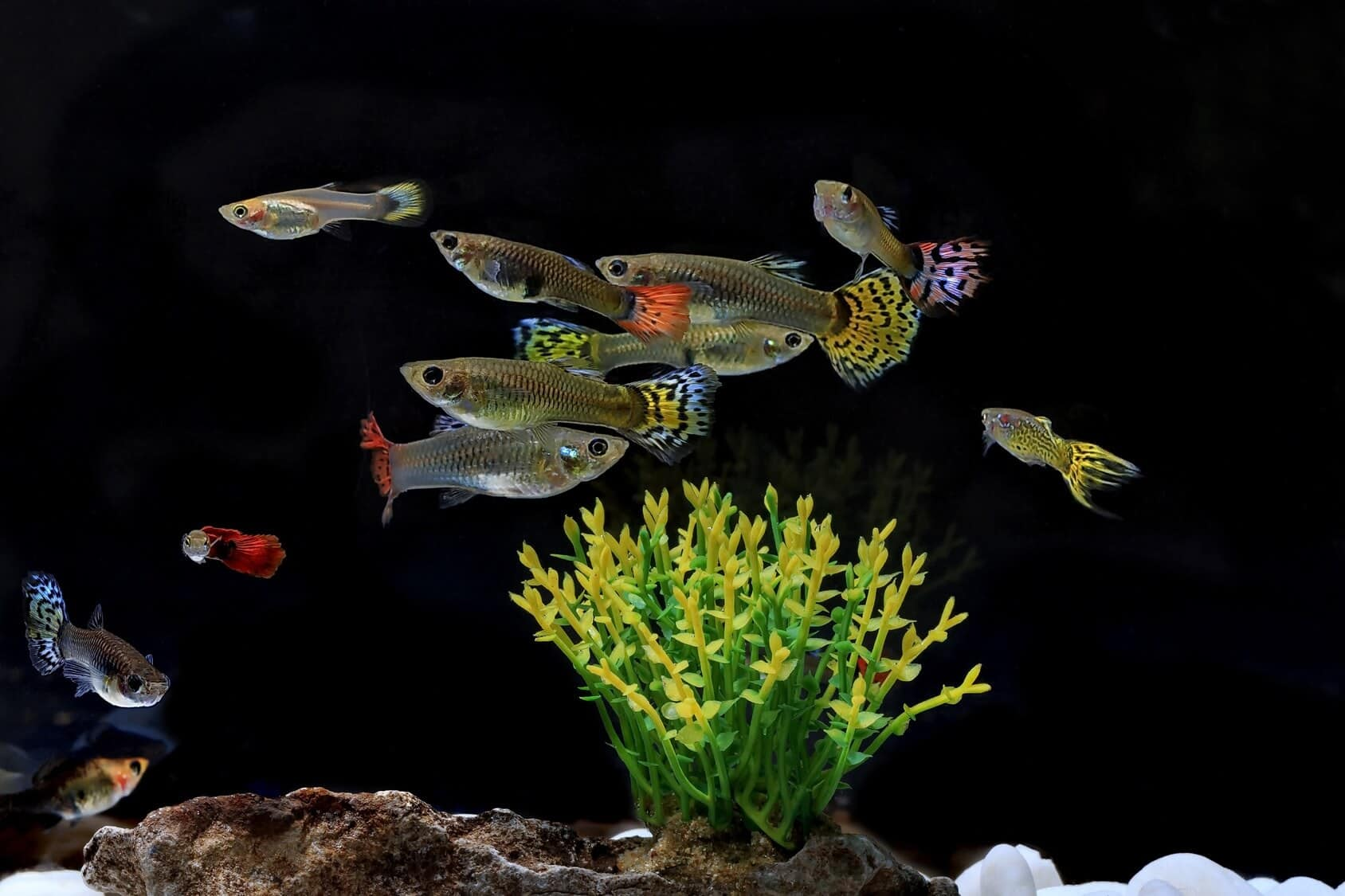 The Complete Guppy Care Guide 2021 Breeding Tank Requirements Fancy Varieties