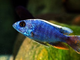 The Ultimate African Cichlid Guide Types, Tanks, Care and More Banner