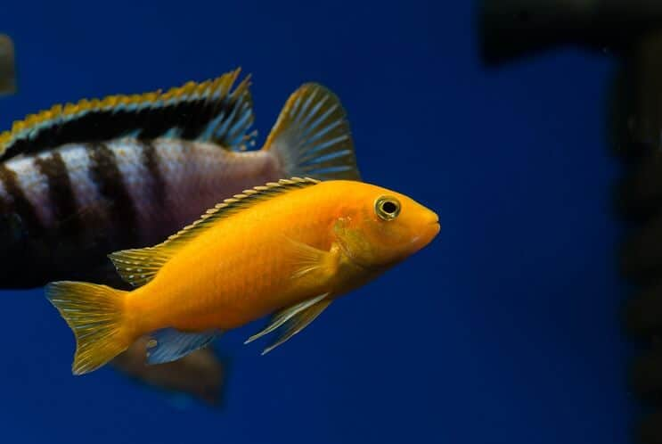 the ultimate african cichlid guide types tanks care and more