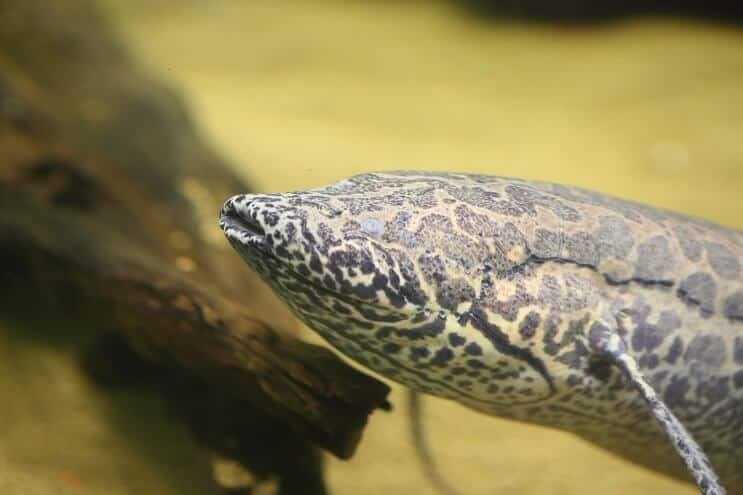 African Lungfish