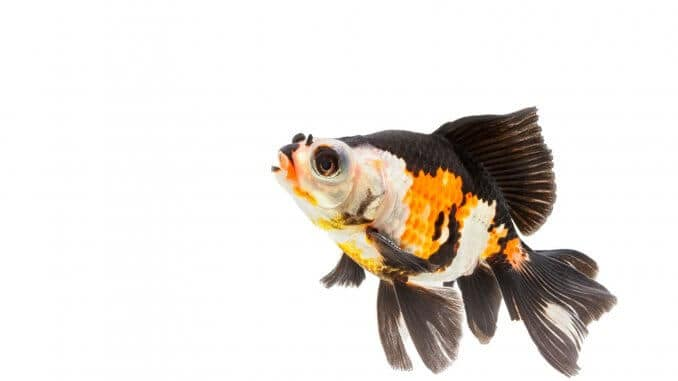 Fancy Goldfish Types, Tank, Care Guide and Much More