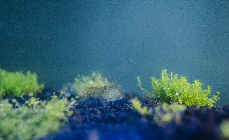 Ghost Shrimp in Aquarium