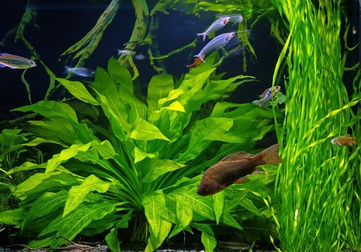 Glass Catfish Tankmates