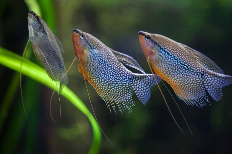 Group of Pearl Gourami