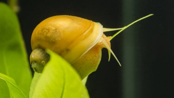 Mystery Snail Complete Care Guide (Blue, Black, Gold and More) Banner