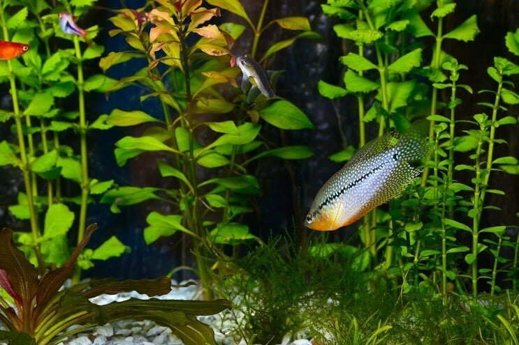 Pearl Gourami in an Aquarium
