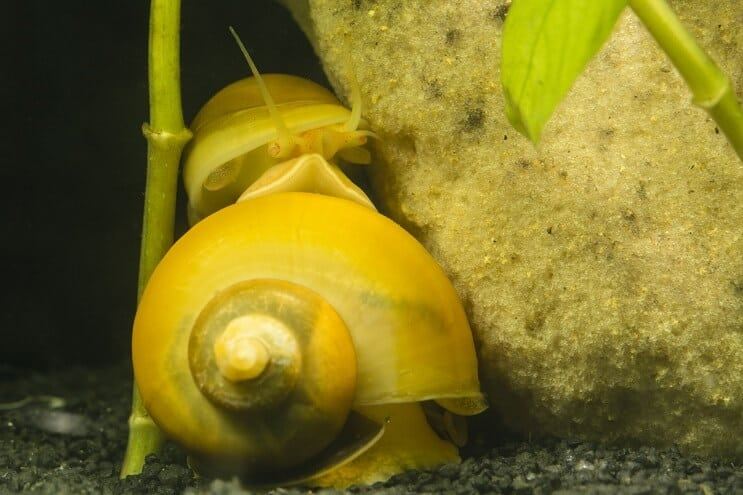 Two Mystery Snails