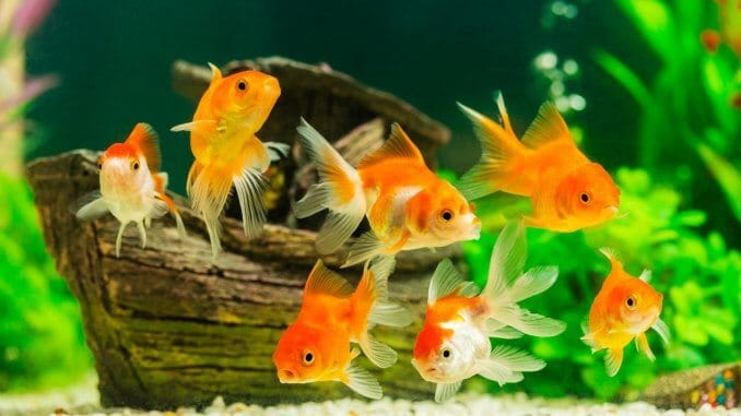 What Do Goldfish Eat? Complete Guide to Feeding Your Pet Goldfish Banner