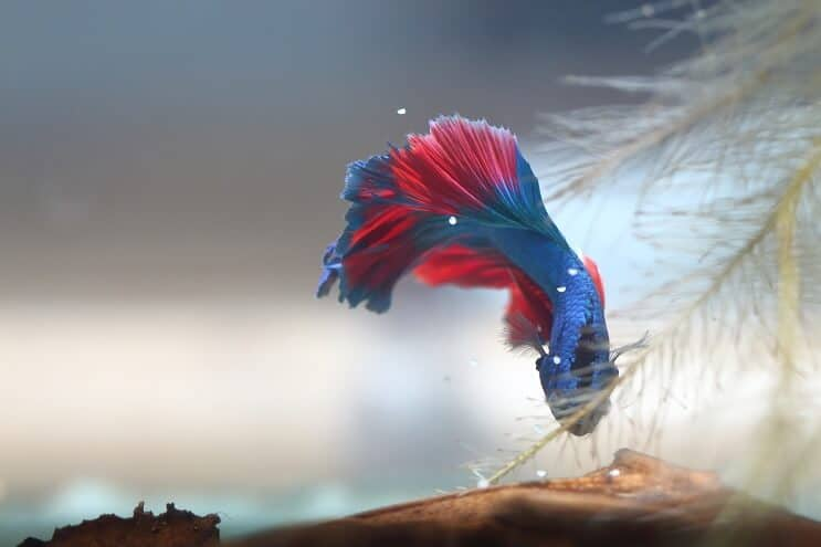 Betta Collecting Eggs