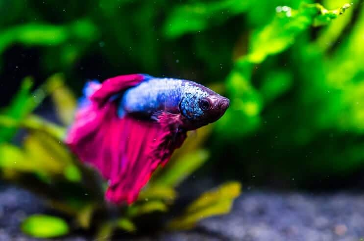 How Long Do Betta Fish Live 5 Tips To Increase Their Lifespan