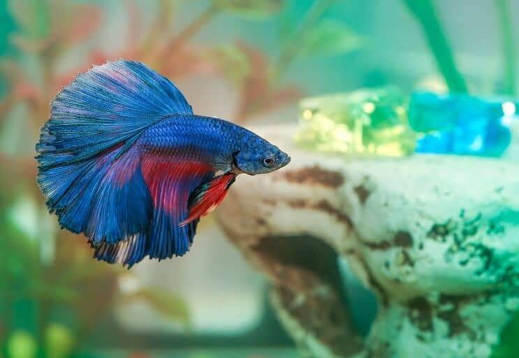Betta in an Aquarium
