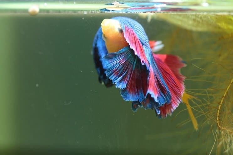 Bettas Breeding More