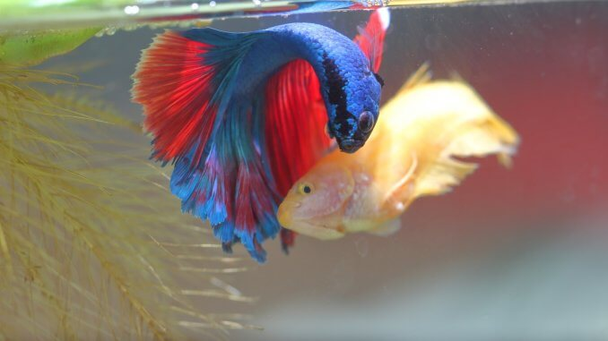 Breeding Betta Fish Banner