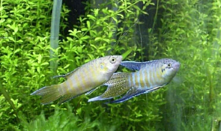 Breeding Paradise Fish