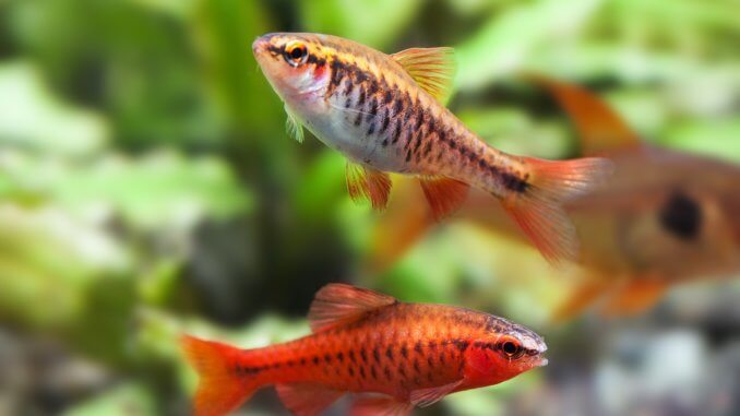 Cherry Barb Fish Complete Guide (Care, Tank Mates, Breeding and More) Banner