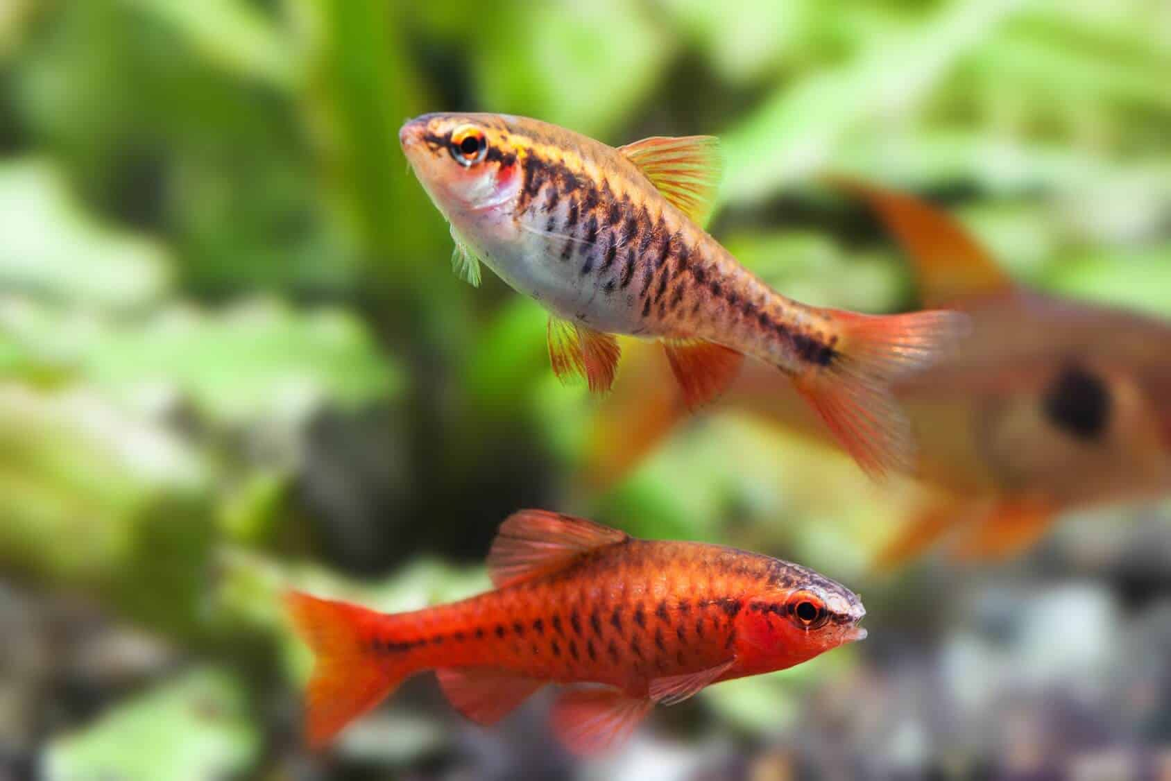 Cherry Barb Fish All You Need To Know Care Tank Mates Breeding And More Fishkeeping World