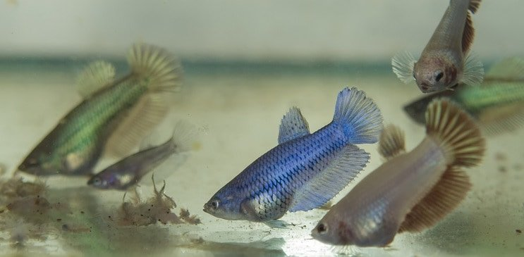 Breeding Betta Fish From Selecting A Pair To Raising The Fry Fishkeeping World