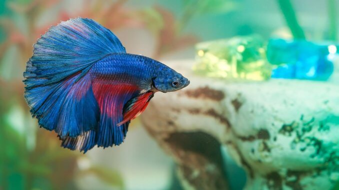 How Long Do Betta Fish Live? 5 Tips to Increase Their Lifespan Banner