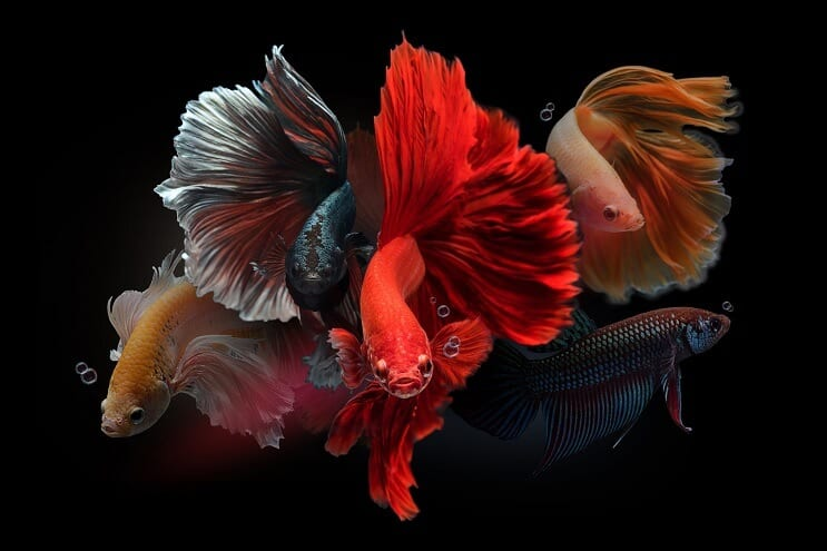 Male Bettas