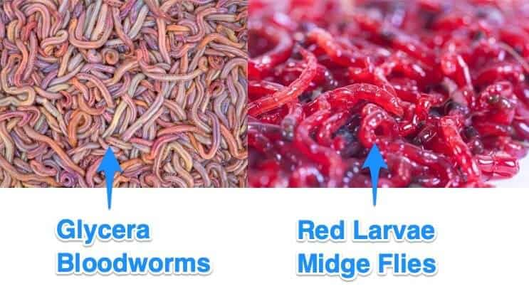 Red Larvae of the Midge Fly