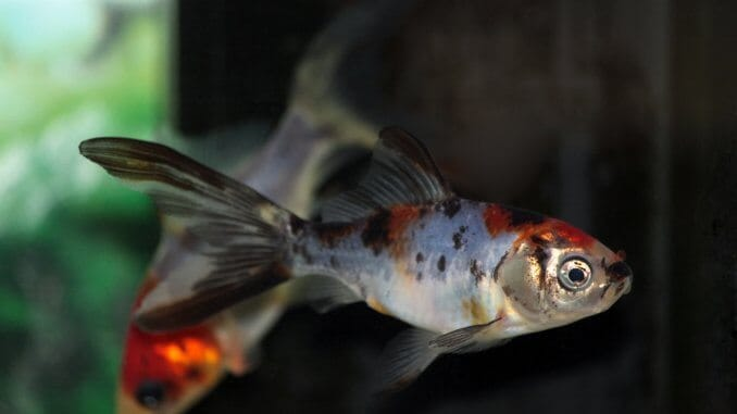 Shubunkin Goldfish Varieties, Care Guide, Lifespan and More... Banner