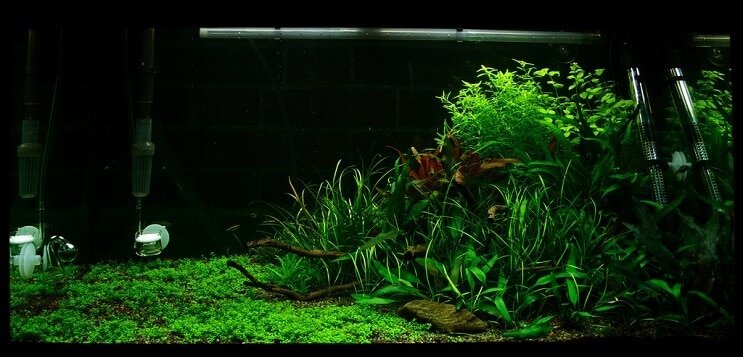 Tank Conditions Staurogyne repens