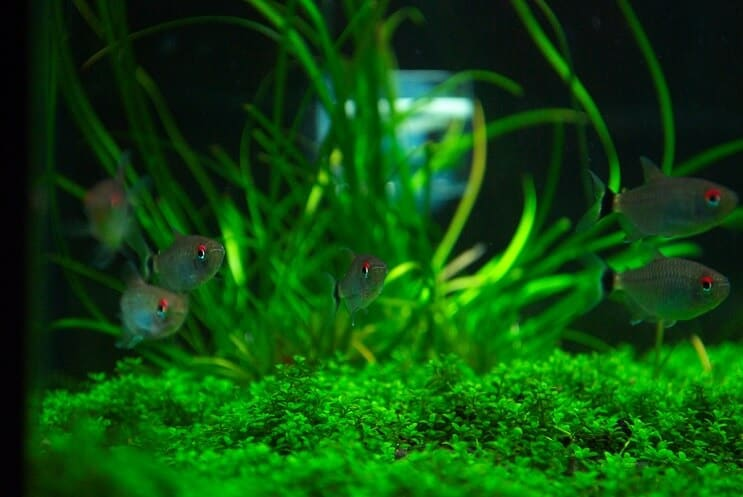 Tank Mates for Staurogyne Repens