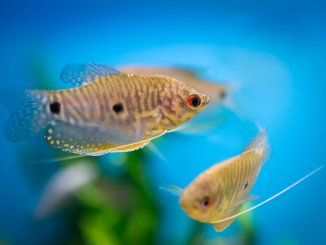 18 Most Beautiful Gourami Fish and How to Care for Them Banner