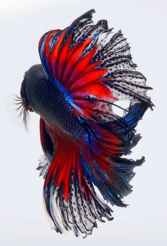 15 Most Beautiful Fish in the World (You Can Keep In Your