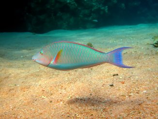 The Most Beautiful Parrotfish Species and 7 Amazing Facts About Them Banner