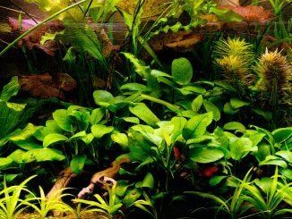 Anubias Nana The Full Guide To Caring, Planting and Propagation Banner