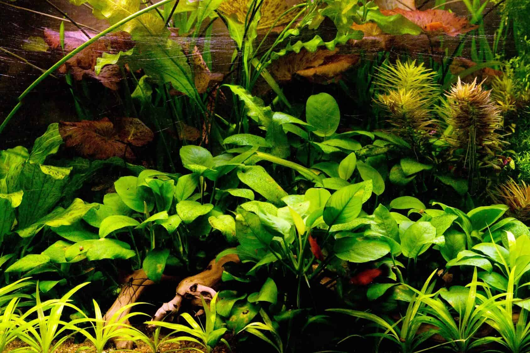 Anubias Nana The Full Guide To Caring Planting And Propagation Fishkeeping World