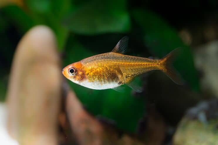 Ember Tetra Appearance