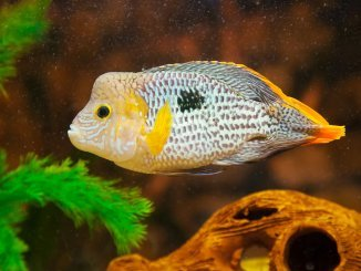 Green Terror Cichlid Size, Tank Mates, Care and More... Banner
