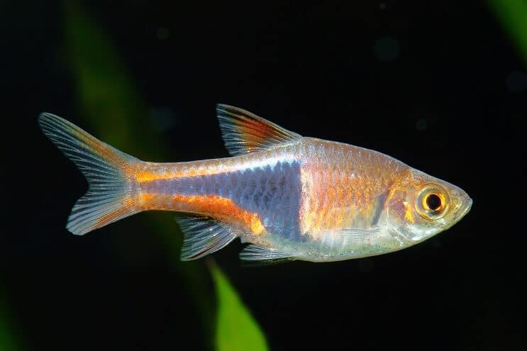 Harlequin Rasbora Care