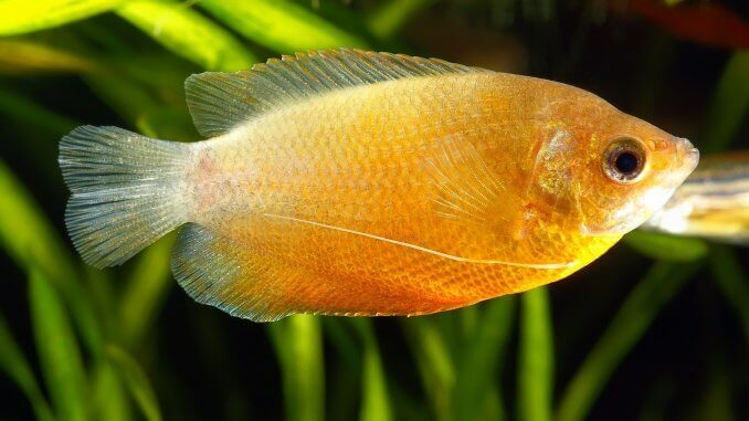 Honey Gourami All You Need To Know About Sunset Honey Gouramis Banner
