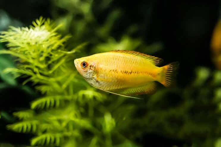 Honey Gourami Appearance