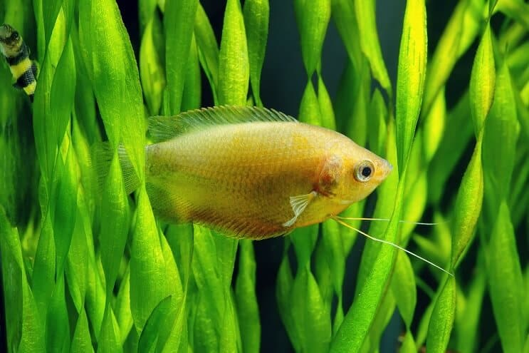 Honey Gourami Care