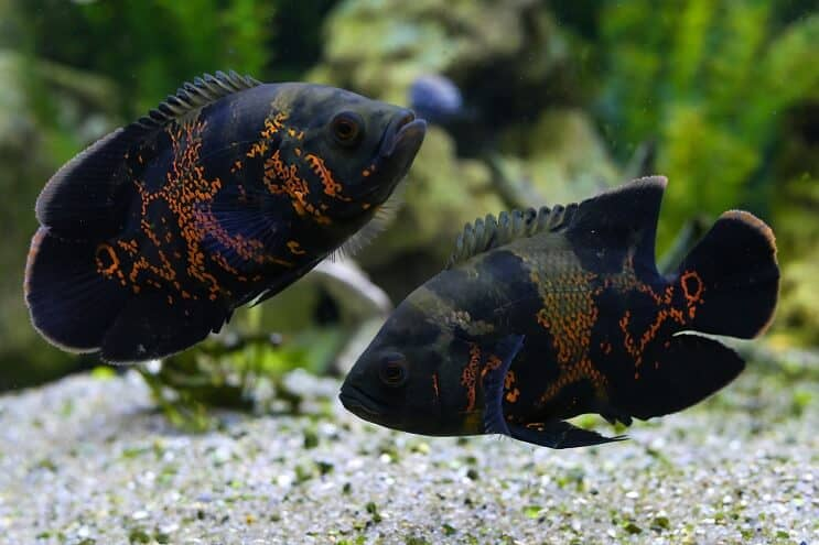 Pair of Oscar Fish