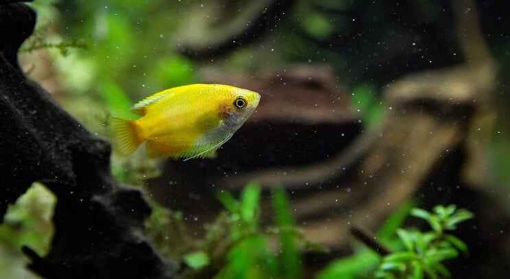Sunset Honey Gourami