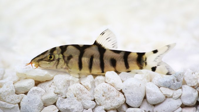 Yoyo Loach Care Guide Size, Breeding And Much More Banner