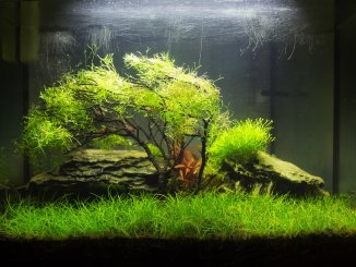 Dwarf Hairgrass Care Guide Carpet, How to Plant And More... Banner