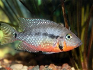 Firemouth Cichlid Care Guide Are You Ready For This Fiery Fish Banner