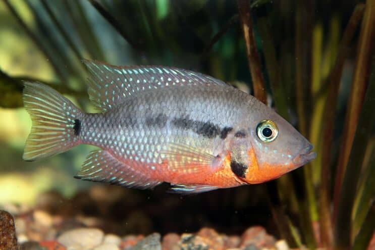 Firemouth Cichlid Feeding