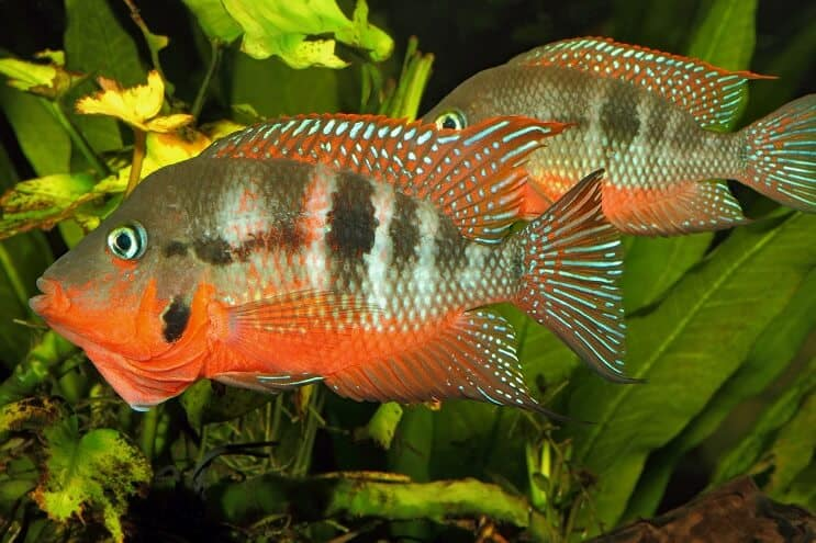 Firemouth Cichlid Male and Female