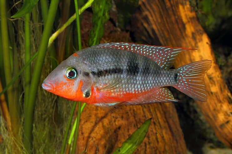 Firemouth Cichlid Swimming