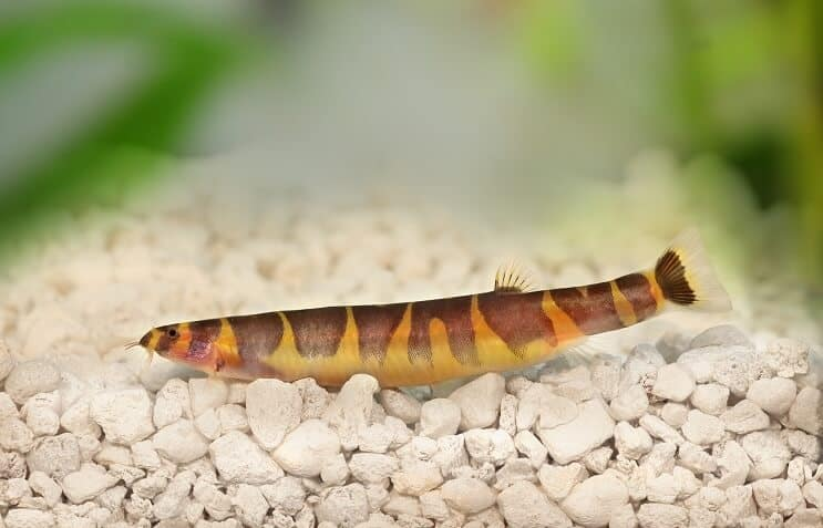 The Ultimate Kuhli Loach Care Guide: Tank Mates, Breeding