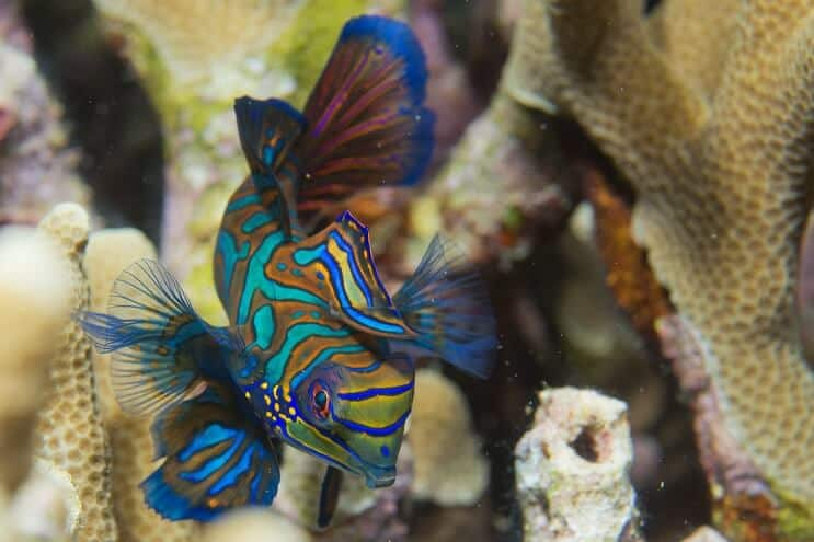 Mandarin Fish Swimming