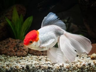 Oranda Goldfish Definitive Care Guide Color Varieties, Size, Lifespan and More... Banner